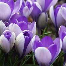 Фото луковичных цветов