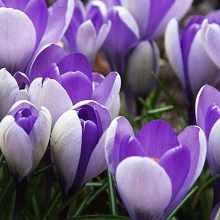 Красивые луковичные цветы