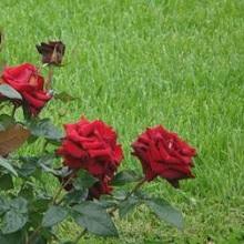 черенки роз посадить