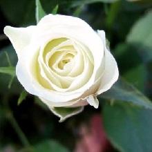 Правильно посадить черенки роз