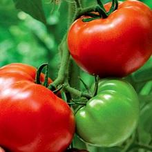 Почему болеют помидоры