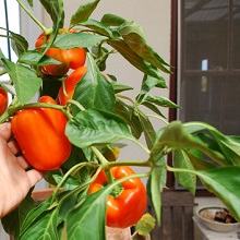 Выращивание перца в домашних условиях, ЧАСТНЫЙ ДОМ