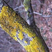 Лишайники на плодовых деревьях