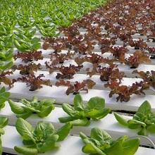 Салат на семена