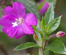 Растение кипрей