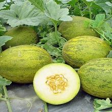 Выращивание бахчевых культур