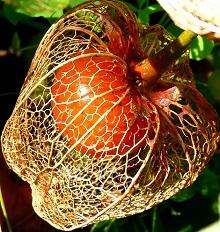 выращивание декоративного физалиса