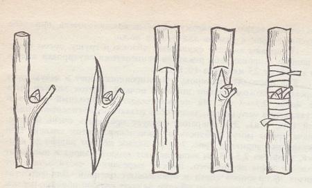 Окулировка плодовых деревьев в т-образный разрез