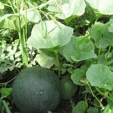 Правильно выращивать арбузы