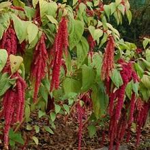 Растение амарант