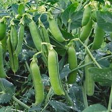 Выращивание зеленого горошка