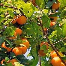 Как ухаживать за абрикосом