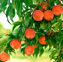 Вырастить персиковое дерево