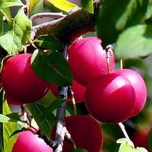 Гибриды вишнесливы