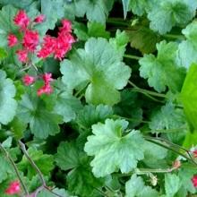 Растение гейхера
