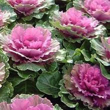 Выращивание декоративной капусты из семян