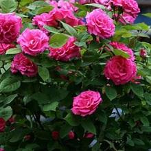 Выращивание роз в горшках