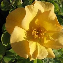 Розы группы Canadian-Artist