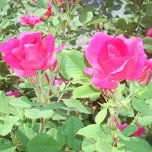Розы канадской селекции