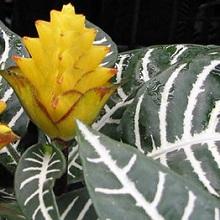 Как цветет афеландра