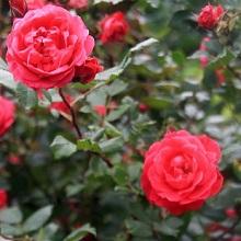 Розы группы The Explorer