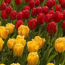 Осенняя посадка тюльпанов