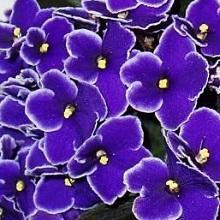 Обильное цветение фиалок
