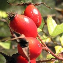 Польза плодов шиповника