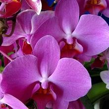 Выращивание орхидей дома