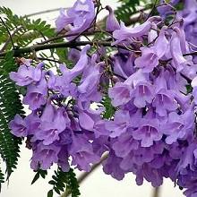 Жакаранда цветет