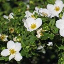 Курильский чай с белыми цветками