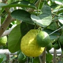 Лимон сорта юбилейный