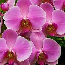 Как ухаживать за комнатными орхидеями