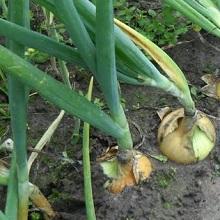Получить хороший урожай лука