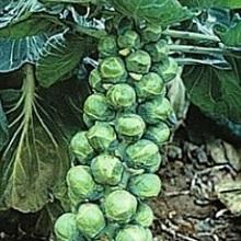 Посадка брюссельской капусты