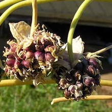 Размножение чеснока бульбочками