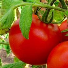 Чем удобрять томаты