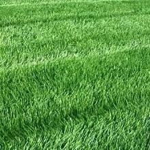 Обыкновенный газон