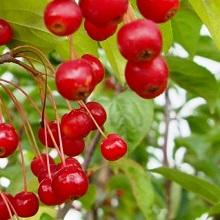 Плоды декоративных яблонь