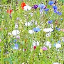 Травы для лугового газона
