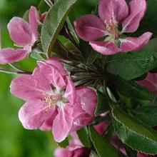 Яблоня декоративная цветет