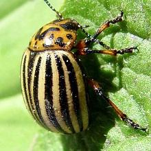 Народные средства борьбы с колорадским жуком и проволочником
