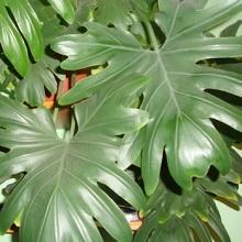 Комнатные растения опасные для человека