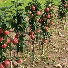 Выращивание колоновидных яблонь