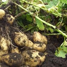 Использование картофельной ботвы