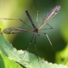 Как спастись от комаров народными средствами