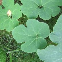 Листья тыквы фиголистной