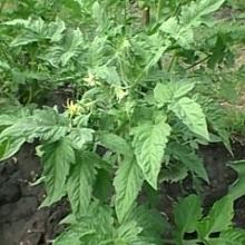 Народные рецепты подкормки помидор