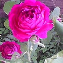 Уход за розами в саду летом