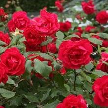 Уход за садовыми розами летом